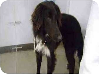 Collie/Afghan Hound Mix Dog for adoption in Houston, Texas - Prince