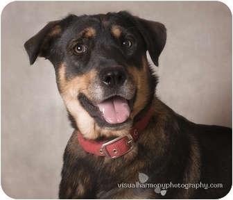 German Shepherd Dog/Golden Retriever Mix Dog for adoption in Phoenix, Arizona - Macy
