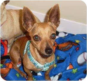 Chihuahua Dog for adoption in West Palm Beach, Florida - POPPI