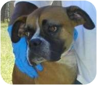 Boxer Dog for adoption in Lincolnton, North Carolina - Bucklin