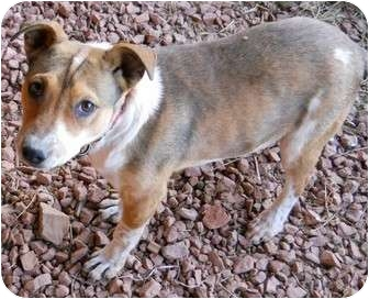 Australian Kelpie/Beagle Mix Dog for adoption in dewey, Arizona - Jilly