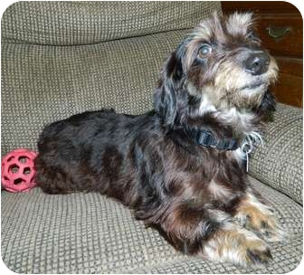 Dachshund/Yorkie, Yorkshire Terrier Mix Dog for adoption in Umatilla, Florida - Dixie