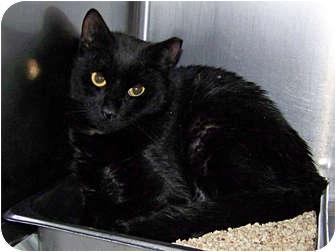 Domestic Shorthair Cat for adoption in Kensington, Maryland - Tippy (Barn Cat)