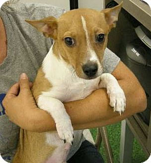 Jack Russell Terrier/Corgi Mix Puppy for adoption in Las Vegas, Nevada - Wookie