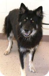 German Shepherd Dog/Alaskan Malamute Mix Dog for adoption in Greeneville, Tennessee - Aja
