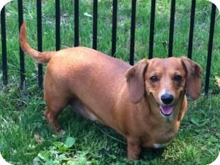 Dachshund Dog for adoption in Jacobus, Pennsylvania - Lady - PA