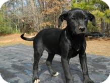 Labrador Retriever Mix Puppy for adoption in Portland, Maine - Sister