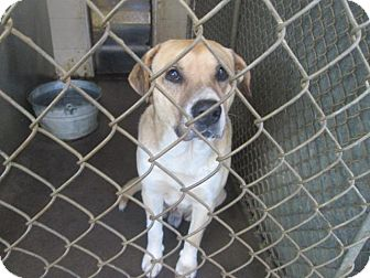Labrador Retriever Mix Dog for adoption in Henderson, North Carolina - Justin