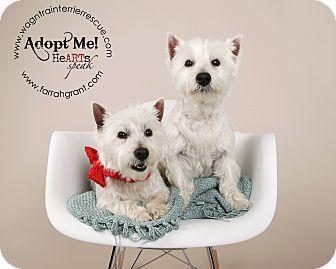 Westie, West Highland White Terrier Dog for adoption in Omaha, Nebraska - Mork