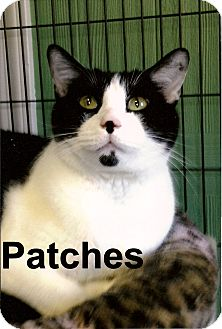 Domestic Shorthair Cat for adoption in Medway, Massachusetts - Patches