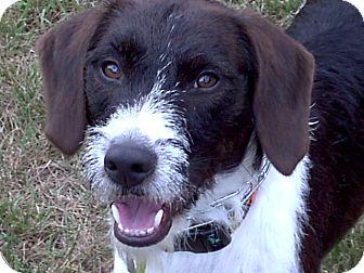 Terrier (Unknown Type, Medium)/Pointer Mix Puppy for adoption in Chesterfield, Michigan - Scottie McFarland 2013 (M)