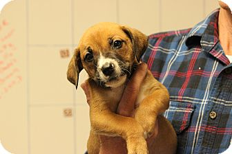 Boxer/Catahoula Leopard Dog Mix Puppy for adoption in Hershey, Pennsylvania - Sunner