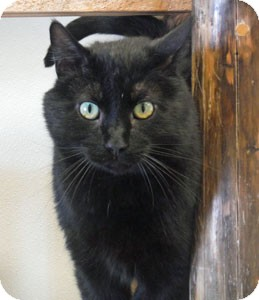 Domestic Shorthair Cat for adoption in Park Rapids, Minnesota - Nibbles