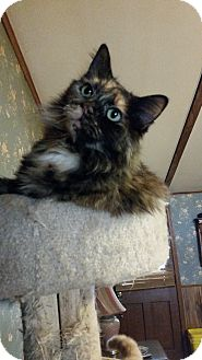 Domestic Longhair Cat for adoption in Cary, North Carolina - Spike Lee