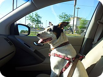 Jack Russell Terrier Mix Dog for adoption in Austin, Texas - Callie In Midland