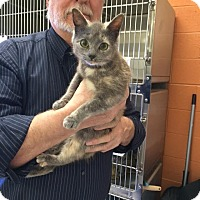 Adopt A Pet :: Ginger the bobtail - McDonough, GA
