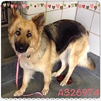 Adopt A Pet :: PORSCHE - SAN ANTONIO, TX