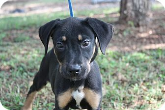 Shepherd (Unknown Type) Mix Puppy for adoption in Conway, Arkansas - Leela