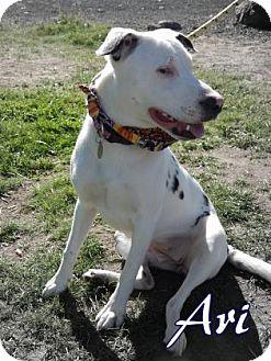 Dalmatian Mix Dog for adoption in The Dalles, Oregon - Ari