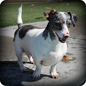 Dachshund/Jack Russell Terrier Mix Dog for adoption in Greenville, South Carolina - Gabriel
