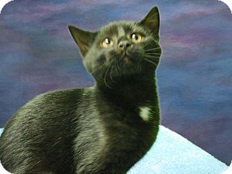 Domestic Shorthair Kitten for adoption in New Castle, Pennsylvania - Maverick