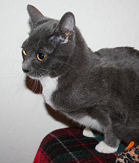 Domestic Shorthair Kitten for adoption in Santa Rosa, California - Helen