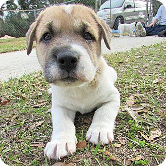 Labrador Retriever Mix Puppy for adoption in Umatilla, Florida - Tinsel