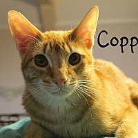 Domestic Shorthair Cat for adoption in Wichita Falls, Texas - Copper