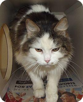Domestic Mediumhair Cat for adoption in Cheboygan, Michigan - Patches