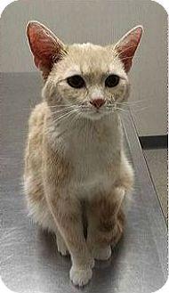 Hemingway/Polydactyl Kitten for adoption in Northfield, Ohio - Angel