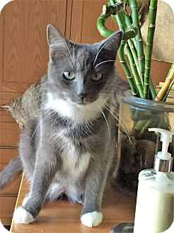 Domestic Shorthair Cat for adoption in Woodstock, Ontario - Grey