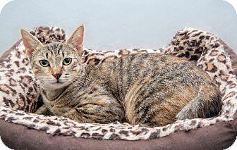 American Shorthair Cat for adoption in Brooklyn, New York - Kelly