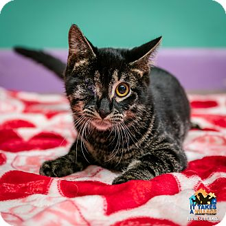 Domestic Shorthair Kitten for adoption in Evansville, Indiana - Uno