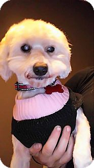 Poodle (Miniature)/Maltese Mix Dog for adoption in Fullerton, California - Hope is BLIND