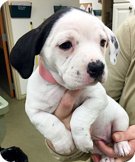 Labrador Retriever/Dachshund Mix Puppy for adoption in Hockessin, Delaware - Shimmer