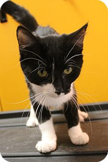 Domestic Shorthair Cat for adoption in Richand, New York - Zena