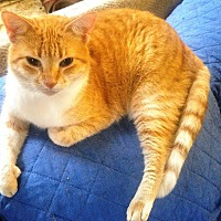 Domestic Shorthair Cat for adoption in Houston, Texas - Rudolph