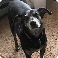 Adopt A Pet :: Duke-courtesy post - Schaumburg, IL