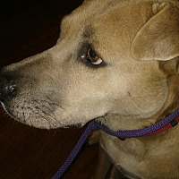 Labrador Retriever/Shar Pei Mix Dog for adoption in Conroe, Texas - Bella