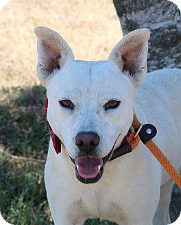 German Shepherd Dog/Labrador Retriever Mix Dog for adoption in Lacey, Washington - Star