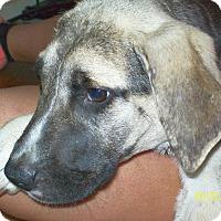 Adopt A Pet :: Lil' Bear - Mexia, TX
