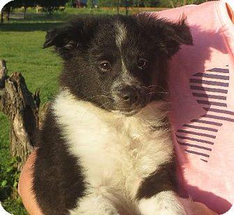 Sheltie, Shetland Sheepdog/Eskimo Spitz Mix Puppy for adoption in Westport, Connecticut - Indra