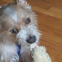 Adopt A Pet :: Biscotti - Parsippany, NJ