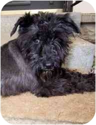 Schnauzer (Miniature) Dog for adoption in Kokomo, Indiana - Kandy Kiss