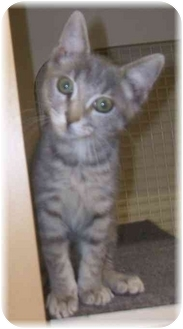 Domestic Shorthair Kitten for adoption in Naples, Florida - Lily