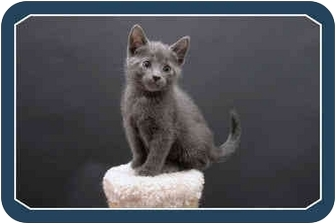 Domestic Shorthair Kitten for adoption in Sterling Heights, Michigan - Ripley - ADOPTED!