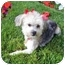 Photo 2 - Silky Terrier/Poodle (Toy or Tea Cup) Mix Dog for adoption in Los Angeles, California - GLEE