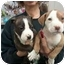 Photo 1 - American Staffordshire Terrier Puppy for adoption in farmingville, New York - am staff pups