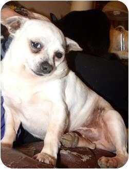 Chihuahua Mix Dog for adoption in San Pablo, California - Casper