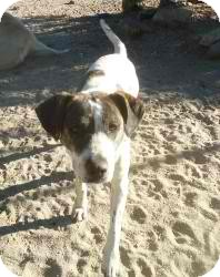 American Pit Bull Terrier Mix Dog for adoption in Anza, California - Baby Girl Dave